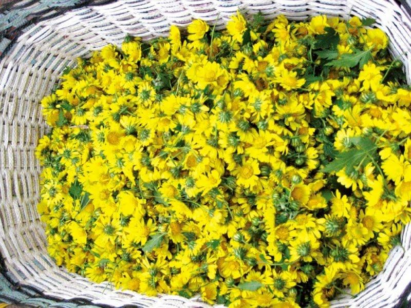 tac dung cua hoa cuc vang 1