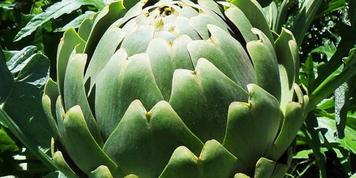 tac dung cua hoa atiso xanh